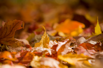 feuilles mortes Francois Hogue