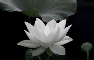 lotus_by_